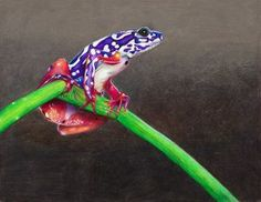 Painted reed frog (Hyperolius marmoratus) is a native of southeastern Africa and is found in savannah and grassland habitats. A unique ability to waterproof their skin allows them to bask in direct sunlight for long periods of time without drying out. These colorful frogs are relatively common within their range but are increasingly threatened by wetland drainage and conversion of their open habitats to forest.