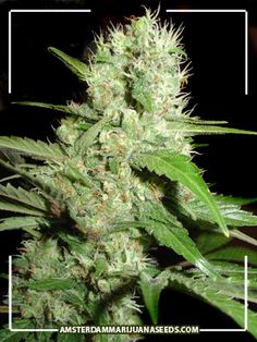 Lemon Ice Amsterdam Marijuana Seeds