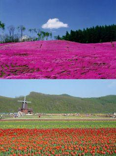 (圖) 美麗花卉季節到來了!! 廣大佔地中一大片芝櫻與日本規模最大約...