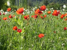 Red Poppies, Wildflowers, Vegetables, Pictures, To Draw, Flowers, Nice Asses, Vegetable Recipes, Wild Flowers