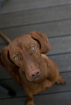 #Vizsla #Puppy #Dogs