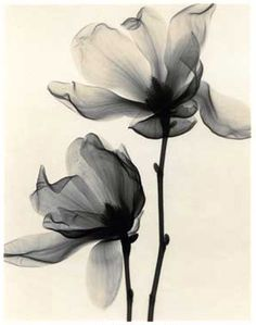 Nice tatoo Magnolia soulangia (Saucer Magnolia) x-ray images. could make for pretty tattoos! Pretty Tattoos, Beautiful Tattoos, Xray Flower, Lotus Flower, Flower Tattoos, Tatoos, Body Art, Art Photography, Pinterest Photography