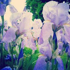 Dutch Iris - photo by Jude Camwell