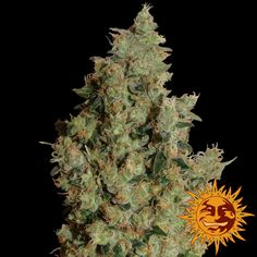 Tangerine Dream Feminised Seeds - Medical use: stress, anxiety, depression, attention deficit disorder with or without hyperactivity, chronic pain, fibromyalgia, nausea, insomnia