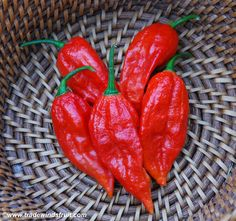 bhut jolokia pepper aka Ghost Pepper. I wouldn't try it.