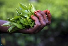 Freshly plucked tea leaves are seen in the hand of a tea garden worker inside Aideobarie Tea Estate in Jorhat in Assam, India, April REUTERS/Ahmad Masood Green Tea Plant, Tea Brands, Darjeeling, Tea Tins, Orchid Care, Garden Pictures, Climate Change, Brewing, Leaves