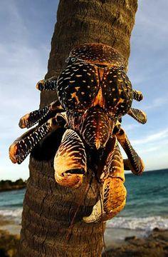 Google+ Underwater Creatures, Ocean Creatures, All Gods Creatures, Coconut Crab, Crab And Lobster, Reptiles, Mundo Animal, Sea World, Animals Of The World