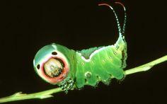 Caterpillar, Soon a butterfly