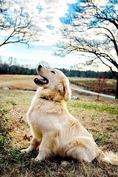 Golden Retriever #goldenretriever #dog #dogguide4u