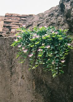 Caper Plant growing on the Colosseum in Rome, Roma, Italia. Caper Berries, Berry Plants, Italian Garden, Graffiti Alphabet, Edible Garden, Native Plants, Vegetable Garden, Planting, Garden Landscaping