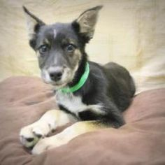 Oreo is an adoptable Shepherd Dog in Salem, MA. Hi there, my name is Oreo and I'm a handsome devil from Georgia looking for love. Hi there, my name is Oreo and I'm a handsome devil from Georgia lookin...