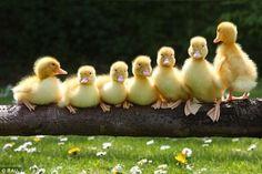 "Yup.  We iz those ""all in a row"" ducks!"