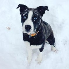 pitbull husky mix. pit bull husky mix. puppy. cute. dog. loki.