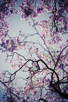 .jacaranda trees - one of my favorites