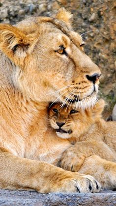 Beauty Rendezvous - Lioness and cub