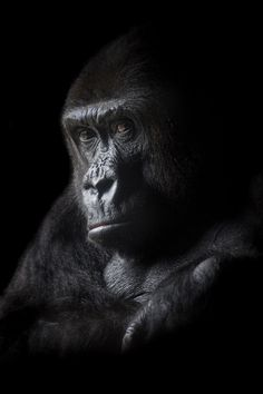 Watchful eyes - by Adam McGrath Primates, Animals Amazing, Cute Animals, Monkey Pictures, Mountain Gorilla, All About Animals, Beautiful Nature Wallpaper, Eye Photography, Nature