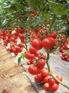 Domates Toprak İsteği hakkında yazılmış olan yazımızdan yetiştiricilik hakkında bilgi alabilir tarımsal mağazamızdan tohum sipariş edebilirsiniz.