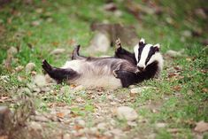 Badgers | badgers may be cute but they spell danger for hogs