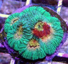 Paradise Pimpin' Favia 5 heads (Live Coral)