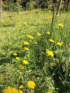 Flores de Diente de León