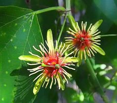 Passiflora Jorullensis