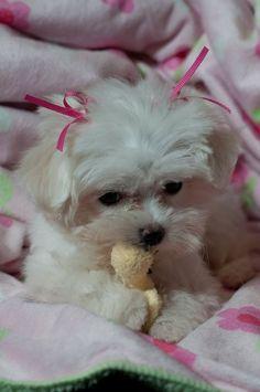 Adorable Maltese puppy! :)
