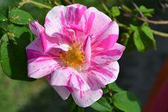 Rosa Mundi, kirjoapteekkarinruusu, Versicolor.   Mundi – Rosa gallica = Kirjoapteekkarinruusu - Hongiston TaimistoHongiston Taimisto