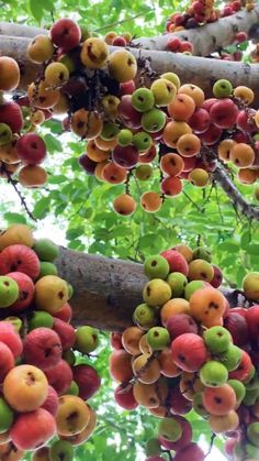 Fruit Plants, Fruit Garden, Fruit Trees, Fruits Name With Picture, Fruit Picture, Beautiful Fruits, Beautiful Flowers, Beautiful Gardens, Colorful Fruit