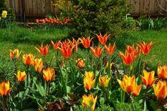 Tulipa 'Fly Away' & 'Flair' - I - Spring 2014