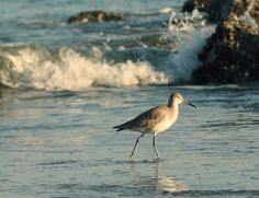 I love watching the shore birds that run in the surf.
