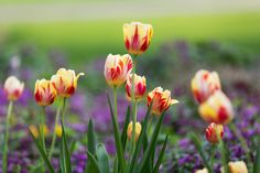 """Rembrandt tulip: These showy, tall tulips feature pale colors that are distinctly variegated or streaked with deep purple or red """"flames"""", and as you may have guessed, are named for the famous Dutch painter Rembrandt. Originally, these striped beauties were the result of a virus that damaged the bulbs. The original Rembrandt bulbs are no longer sold, but a non viral variety are available. These modern Rembrandts are just as beautiful as the originals."""