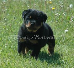 colorful pictures of rotties   Brown Rottweiler Puppies