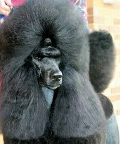 Poodle all dolled up. IT is like a model. I like them better more natural. But they are very pretty.