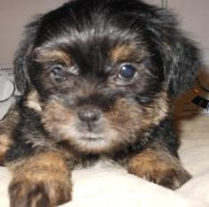 Darci is an adoptable Yorkshire Terrier Yorkie Dog in Kokomo, IN. The puppies are adorable, happy, and super-sweet, 7-week-old, 2-pound, Yorkie/Shih Tzu/Pom -mix puppies looking for a loving guardian....