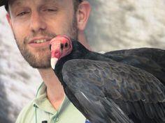 Cóndor Chileno Condor, Bald Eagle, Animals, Animales, Animaux, Animal, Animais, Dieren