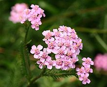 Yarrow herb information. Yarrow benefits and products containing Yarrow, brought to you by Flora Force Natural Health Products. Herbaceous Perennials, Flowers Perennials, Astilbe Flower, Achillea Millefolium, Flower Garden Design, Star Of Bethlehem, Flower Names, Agapanthus, Evergreen Shrubs