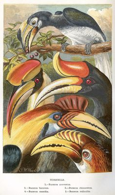The Bucerotidae, or Hornbills, by Alfred Russel Wallace, 1863