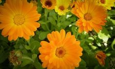 Calendula, Food And Drink, Herbs, Gardening, Healthy, Garden, Plants, Therapy, Marigold Flower