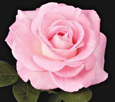 'Falling in Love' Hybrid Tea Rose...