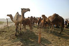 Canon Eos, Camel, Animals, Animales, Animaux, Camels, Animal, Bactrian Camel, Animais