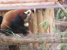 Enrichment for Red Panda