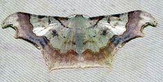 Zeheba spectabilis
