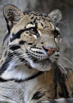 Gorgeous Clouded Leopard - Nice Shot ! Robbobert@deviantart.com Prints available