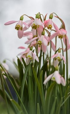 Pink snowdrops
