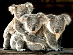 Coala entra pela primeira vez na lista de espécies ameaçadas
