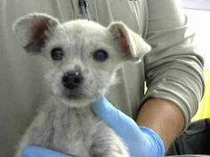 DEVORE,CA. EUTH LIST. Elmo ID#A684817. 13 week old male Terrier mix. Medical Waiver Required (exposed to Parvo). Arrived 11/03/17.