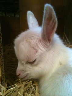 Good Lord this is like the sweetest baby goat I've ever seen!!!