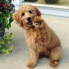 Beautiful baby. Non -shedding miniature goldendoodle puppy.