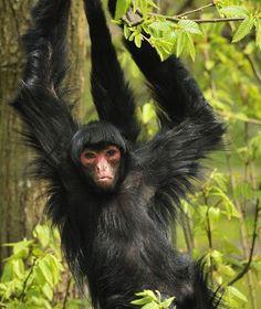 Endangered Animals - Black Spider Monkey