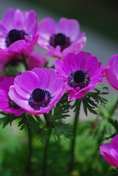 Purple Anemones………GOING TO START PLANTING THESE IN MY PURPLE PETUNIA-PEONE PLOT THIS SPRING…..I WOULD HAVE PREVIOUSLY, BUT DIDN'T KNOW HOW TO SPELL ANEMONE………….ccp